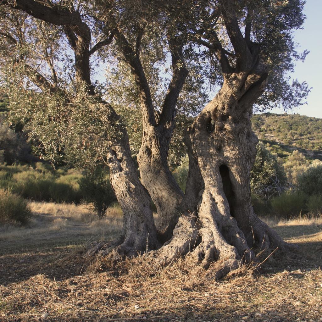 Eeuwenoude olijfboom Taris olijfolie / www.eenlepeltjelekkers.be