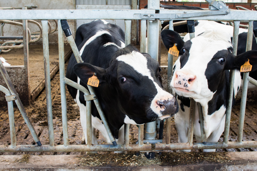 Zwartbonte koeien / www.eenlepeltjelekkers.be